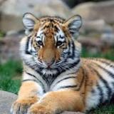 The_Tiger_2020