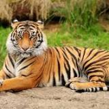 tygryspiotrek
