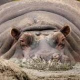 Hippopotomus