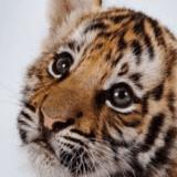 Clumsy_tiger
