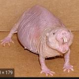 rat_mad_sus_bro